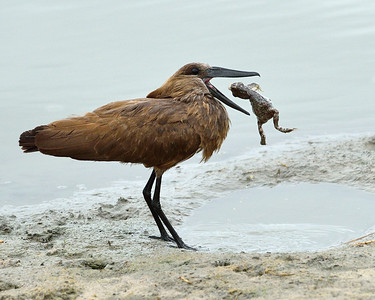 Hamerkop with Meal 3