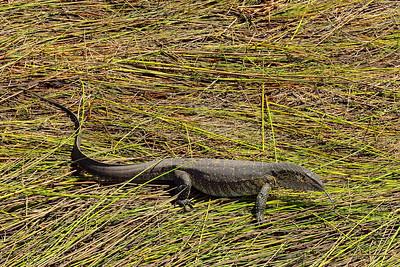 Aerial Scenic & Monitor Lizard - M