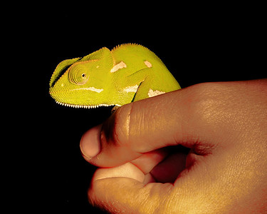 Cameleon in Hand