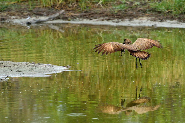Hamerkop with Meal 2