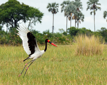 Saddle-Billed Stork - M