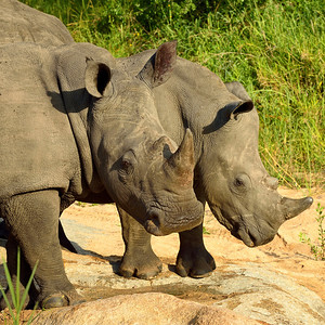 Rhinoceros Pair