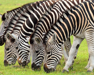 Zebras in a Row - M