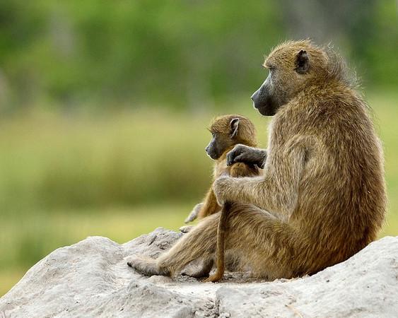 Chacma Baboon Mom & Baby