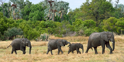Elephant Family on the Move