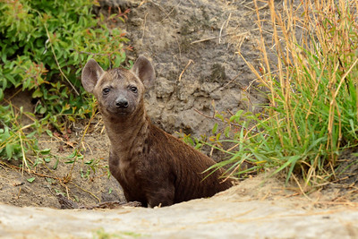 Spotted Hyena Pup at Den - M