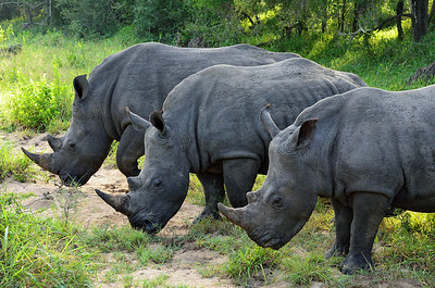 Rhinoceroses Feeding -M