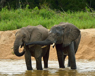 Elephants at Play