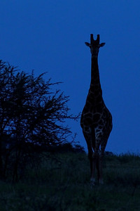 Giraffe at twilight