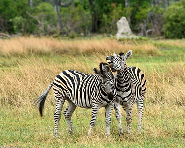 Zebras Courting