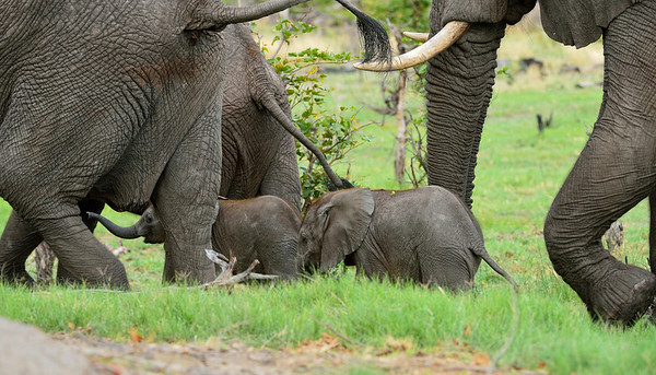 Elephants with Young 1