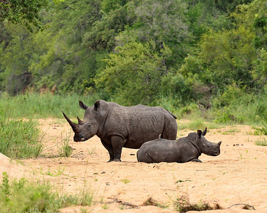 Rhinoceros Mom and Baby 2 -M