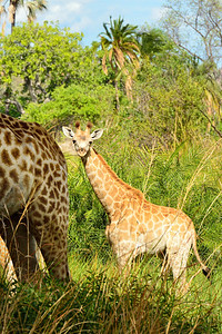 Giraffe and Infant -M