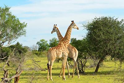 Giraffes -M