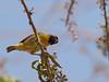 Some sort of weaver bird, Guelta d'Archei