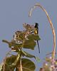 Pygmy sunbird