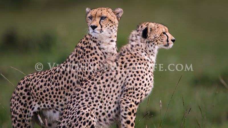 Cheetah brothers