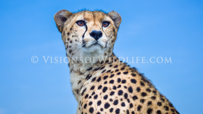 Cheetah on vehicle