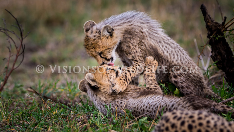 Cheetah cubs playing