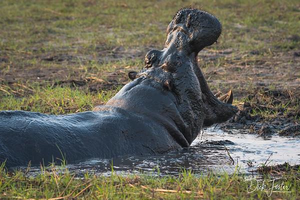 Hippo Yawning