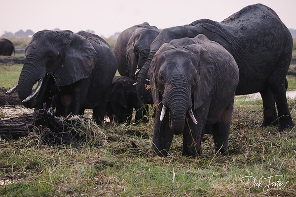 Elephants on Island