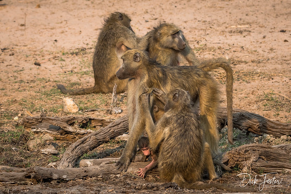 Baboons Cleaning Each Other