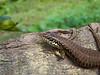 Lizard, Djoezi, Moheli