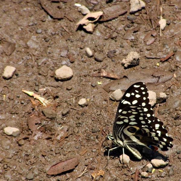 Butterfly, Domoni, Anjouan