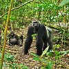"""Silverback Gorilla in Noubale Ndoka National Park, Congo Republic. This gorilla, called by the local people, Kingo, is the alpha male of his group and a large silverback. We were staying at a research camp called Mondika, which is near the spot this photo was taken. Kingo is a """"famous"""" wild gorilla who has been photographed and featured in National Geographic and in a number of documentary films made on lowland gorillas of the Congo Basin. He has become accustomed to humans as he has regular contact with those from the Mondika Research camp as well as the small trickle of tourists that visit each year. Noubale Ndoka National Park, Congo Republic"""
