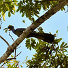 Great Blue Turaco. Also by the WCS Bomassa Research Camp, Congo Republic