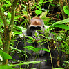 Few people get to this remote and difficult to reach part of the Congo Basin--probably the reason it still has so much wildlife. A large silverback gorilla, of a different group from Kingo's group.
