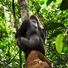 If their forests are eventually destroyed, these magnificent creatures will have no place to live. There are well over 100,000 lowland gorillas in the Congo Basin. However, researchers estimate that this population could fall by 90% by 2030. This is due to the rapidly increasing destruction of their habitat that is coming from many ends in the Congo Basin.