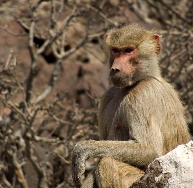 Hamadryas baboon, Djibouti
