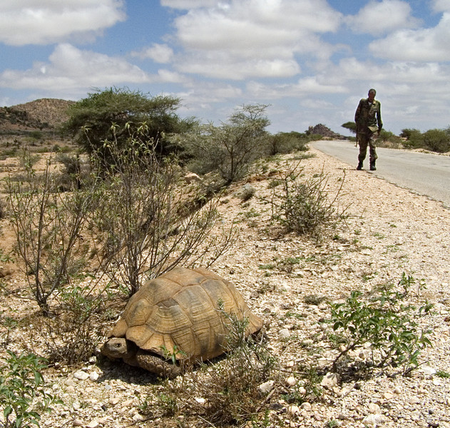 Tortoise, Berbera road, Somaliland.  The guys thought it was pretty funny I wanted to stop the car to get photos of this big tortoise.  One of my guards came after me to make sure nothing untoward happened.