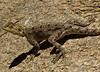 Lizard, Las Geel, Somaliland