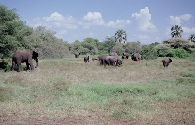 Elephant herd, Lake Manyara NP