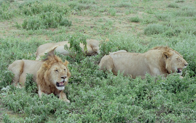 Lions, Serengeti NP