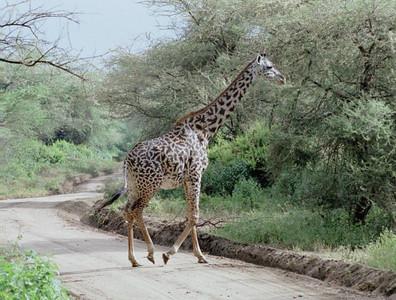 Giraffe, Lake Mayara NP
