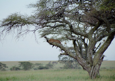 Leopard in tree, Serengeti NP