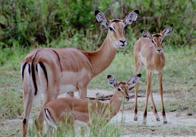 Impalas, Lake Manyara NP