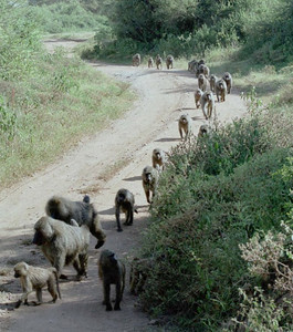 Baboon troop at Lake Manyara NP