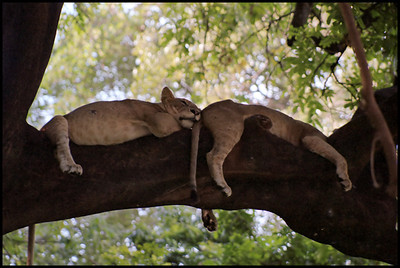 Sleeping lions at Lake Manyara - a very lucky slighting!