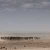 Cattle in drought strickenAmboseli National Park