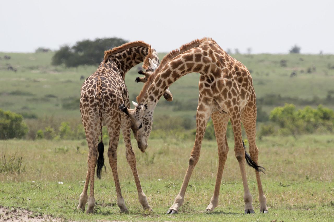 Young male giraffe play fighting.