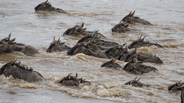 Wildebeest migration, Mara river crosssing