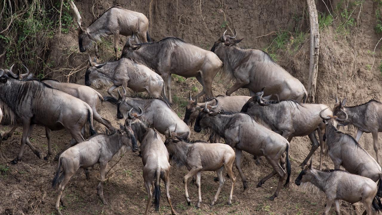 Wildebeest migration, Mara river crosssing