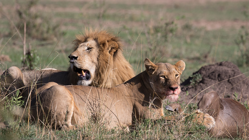 Lion pair with fresh Wildebeest kill