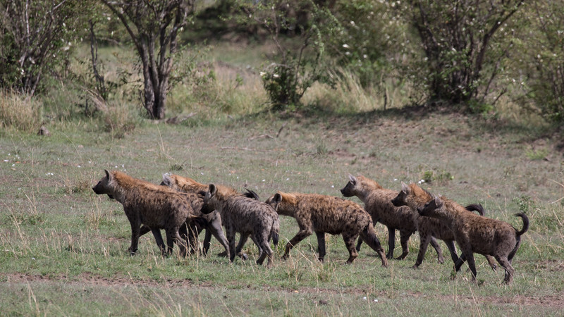 Clan of hyaena at the stand-off with another one.