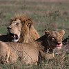 Lion pair with fresh Wildebeest kill