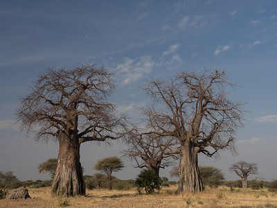 Baobab Trees in Tarangeri National Park